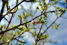 Wild Plum Tree Blossom Bud Close Up Detail On Blue Spring Sky Background