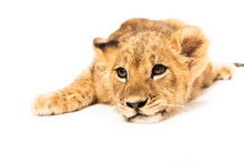 Adorable Lion Cub Lying Isolated On White