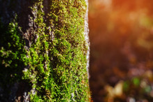 Green Moss On A Tree In The Forest, Close-up, Evening Sun