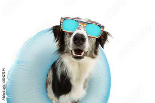 dog summer going on vacation inside of blue inflatable float pool and wearing sunglasses. Happy expression. Isolated on white background. © Sandra