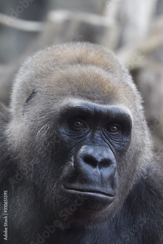 Vertical shot of a western lowland gorilla looking at the camera Canvas Print