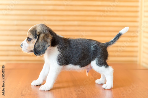 beagle puppy Canvas Print
