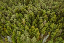 Aerial Shot Of A Forest With A Lot Of Tall Green Trees