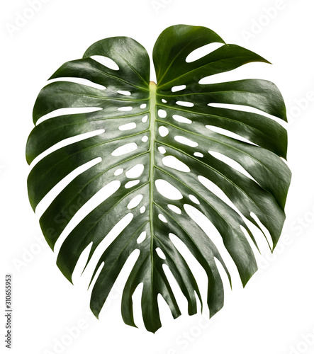 monstera tropical leaf isolated on white - 310655953