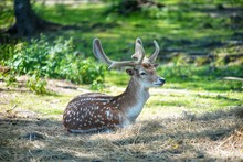White And Brown Deer Laying On...