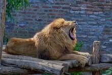 Closuep Shot Of A Lion Yawning...