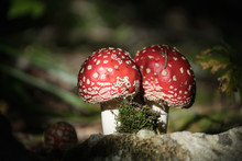 Toadstool. Fly Agaric Mushroom...