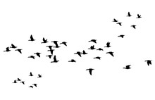 Flying Birds. Vector Image. Wh...