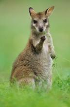 Joey Kangaroo In Grass