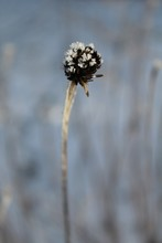 Vertical Closeup Shot Of Dried Brown Tansy Seedpods With Frost On Top