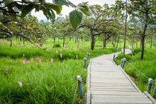 A Walk Way In Siam Tulip Field, Pa Hin Ngam National Park In Chaiyaphum Province, Thailand.