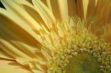 Close Up Of A Yellow Gerber Daisy Flower