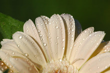Close Up Of A Cream Colored Gerber Daisy Flower With Raindrops On The Petals