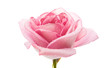 canvas print picture - pink rose isolated