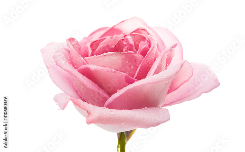 Fototapeta pink rose isolated obraz