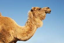 Cropped Camel Against Blue Sky
