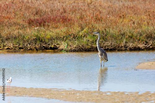 Photo A Cocoi Heron (Garza Cuca) Latin Name  Ardea Cocoi on a Wetland