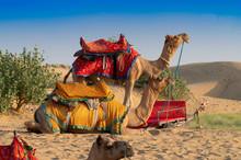 Camels For Camel Ride At Thar ...