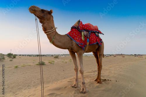 Leinwand Poster Camel for camel ride at Thar desert, Rajasthan, India