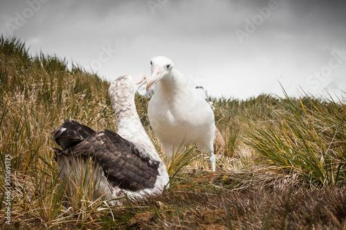 Fototapeta  Wandering Albatros Pair Prion Island South Georgia Antarctica