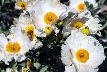 White Flowers Of California Tree Poppy