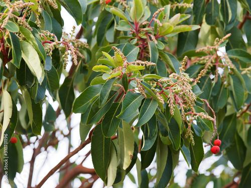 Arbutus andrachne ou arbousier de Chypre, au feuillage persistant, aux petites f Canvas Print