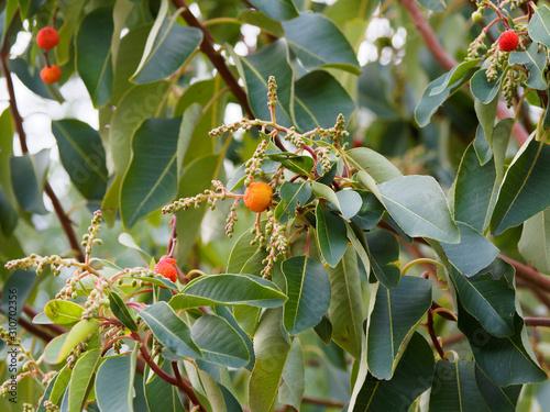 (Arbutus andrachne) Arbousier andrachne ou arbousier de Chypre aux baie charnues Canvas Print