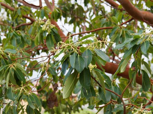 (Arbutus andrachne) Arbousier andrachne ou arbousier de Chypre aux petites fleur Canvas Print