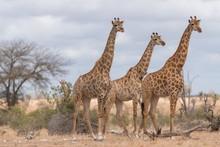 Selective Focus Shot Of Three Giraffes Standing Near Each Other