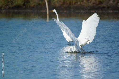 The great egret (Ardea alba) is a species of bird from the family Ardeidae, of the genus Egretta Fototapet