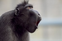 Closeup Shot Of A Baboon Making Noises With A Blurred Background