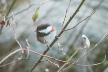Carolina Chickadee Sitting On A Tree Branch Surrounded By Greenery With A Blurry Background