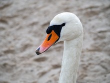 Closeup Headshot Of A Long-necked White Swan With An Orange Beak