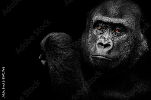 Fotografie, Obraz A gorilla who thinks