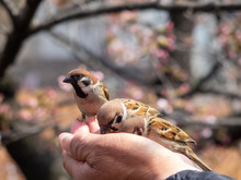Tree Sparrows Pecking Seeds In A Person's Hand