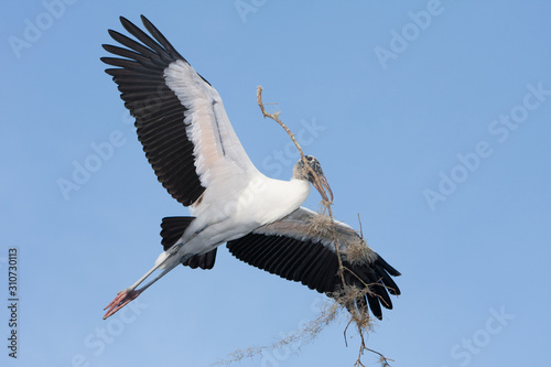 A large Wood Stork flying with nesting material.