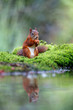 Red Eurasian squirrel searching for food in a pond in the forest in the South of the Netherlands
