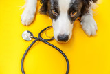 Fototapeta Zwierzęta - Puppy dog border collie and stethoscope isolated on yellow background. Little dog on reception at veterinary doctor in vet clinic. Pet health care and animals concept