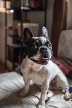 Cute French Bulldog At Home