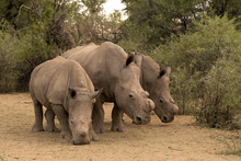 White Rhinos With Horn Cut-Off