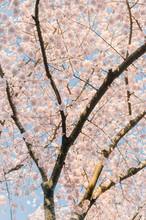 Tall Cherry Blossom Tree Background