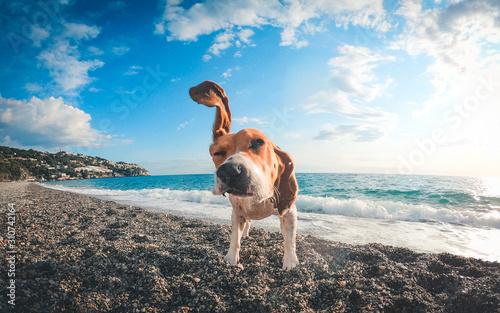 Beagle jugando en la playa Wallpaper Mural