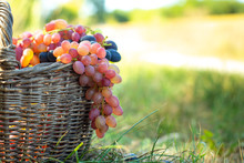 Bunch Of Red Grapes Hanging From Old Wicker Basket. Harvest Berries Against Green Grass At Sunset.