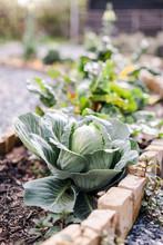 Cabbage Growing In Garden