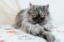Puffy Angry Cat