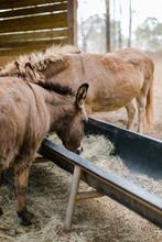 Donkeys Feeding