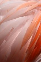 Close Up Of Vibrant Pink Flami...