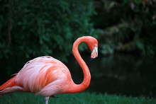 Portrait Of A Pink Flamingo Standing In A Tropical Garden
