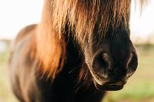 Shetland Pony Muzzle
