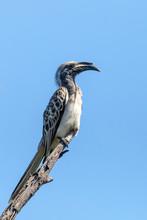 African Grey Hornbill, Botswan...